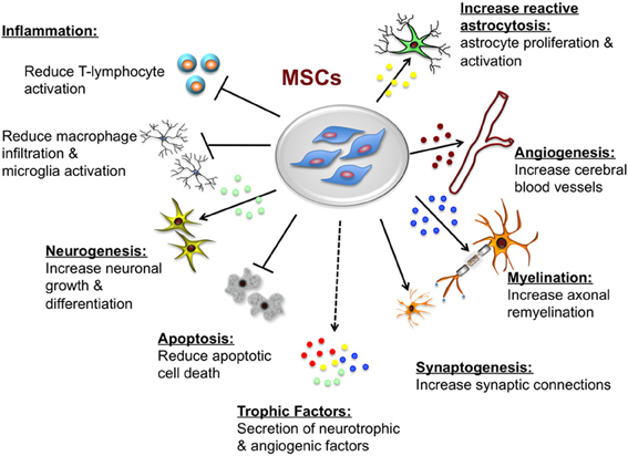 Diagram showing the processes of MSCs and how they reduce inflammation within the body.
