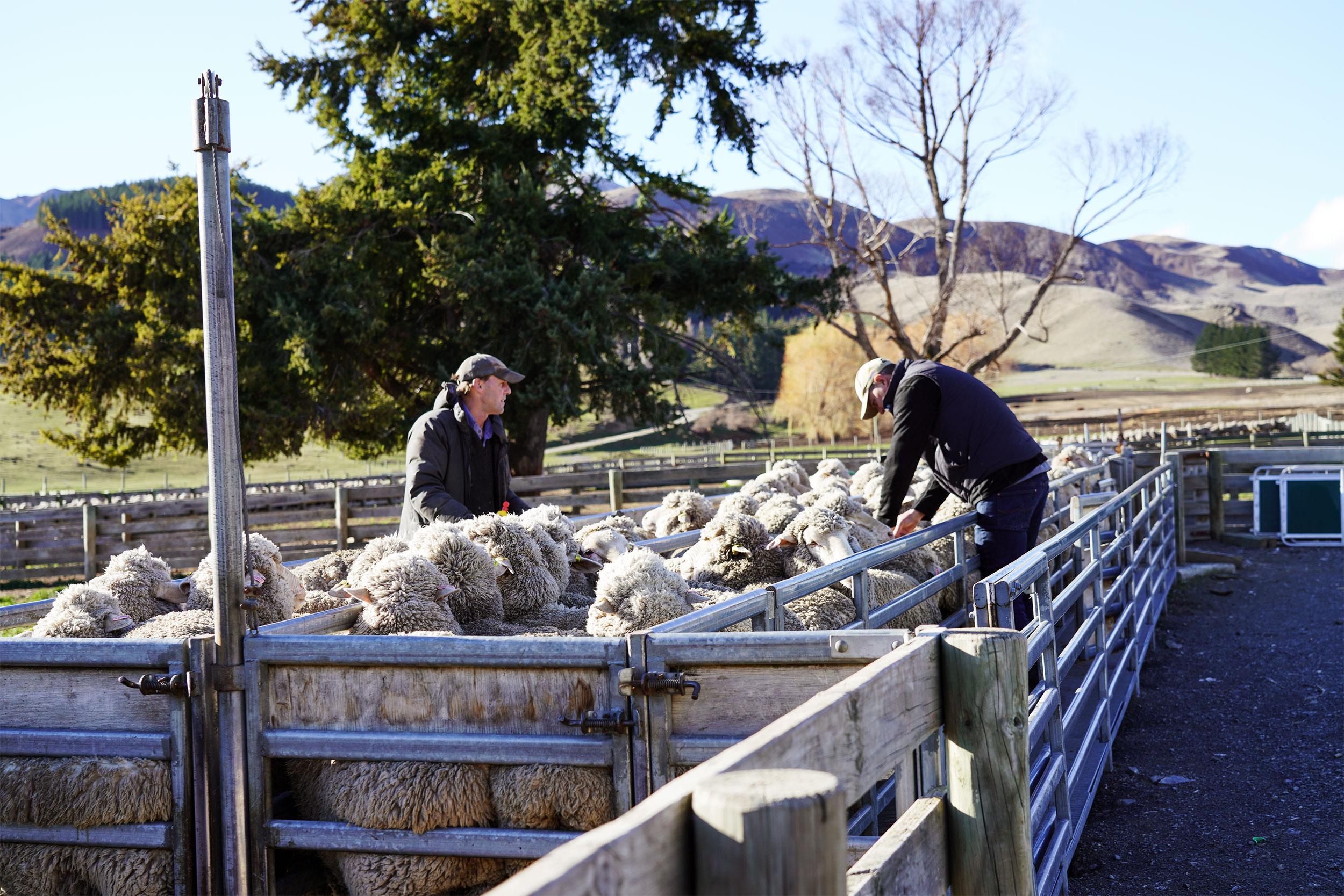 Sheep farmers measuring the condition score of a flock of sheep