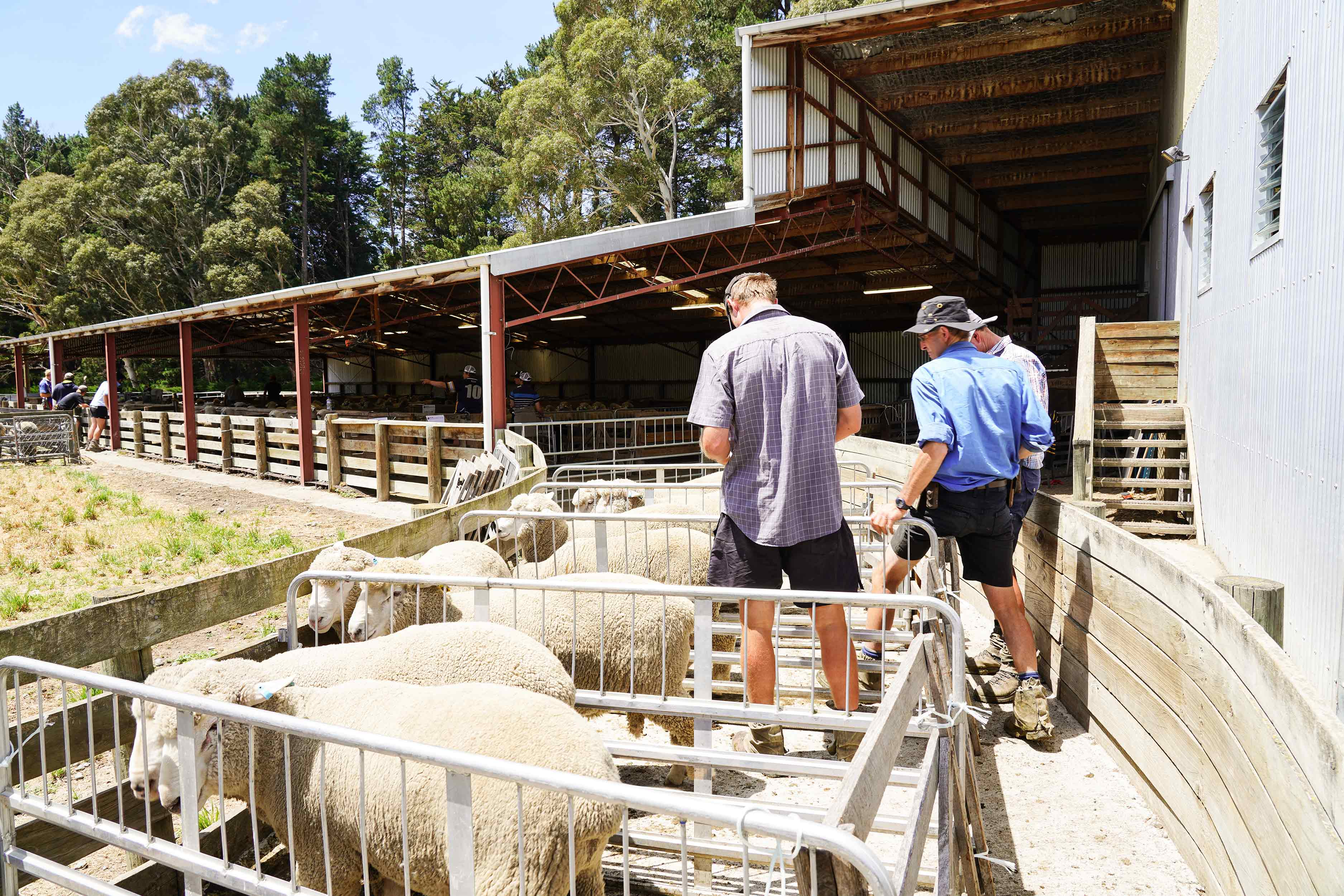 Farmers reviewing sheep for structural faults