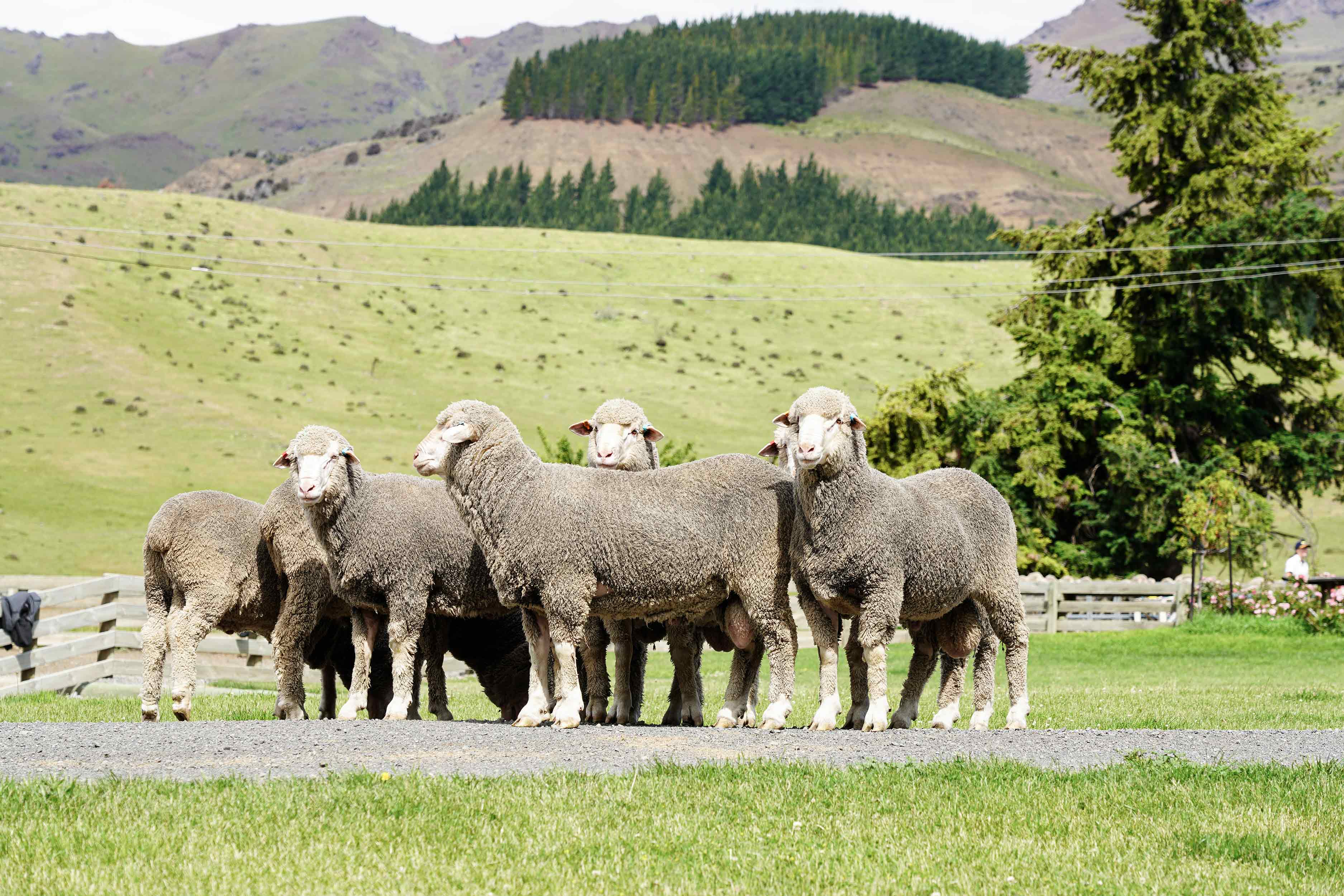 Sheep standing on a gravel road