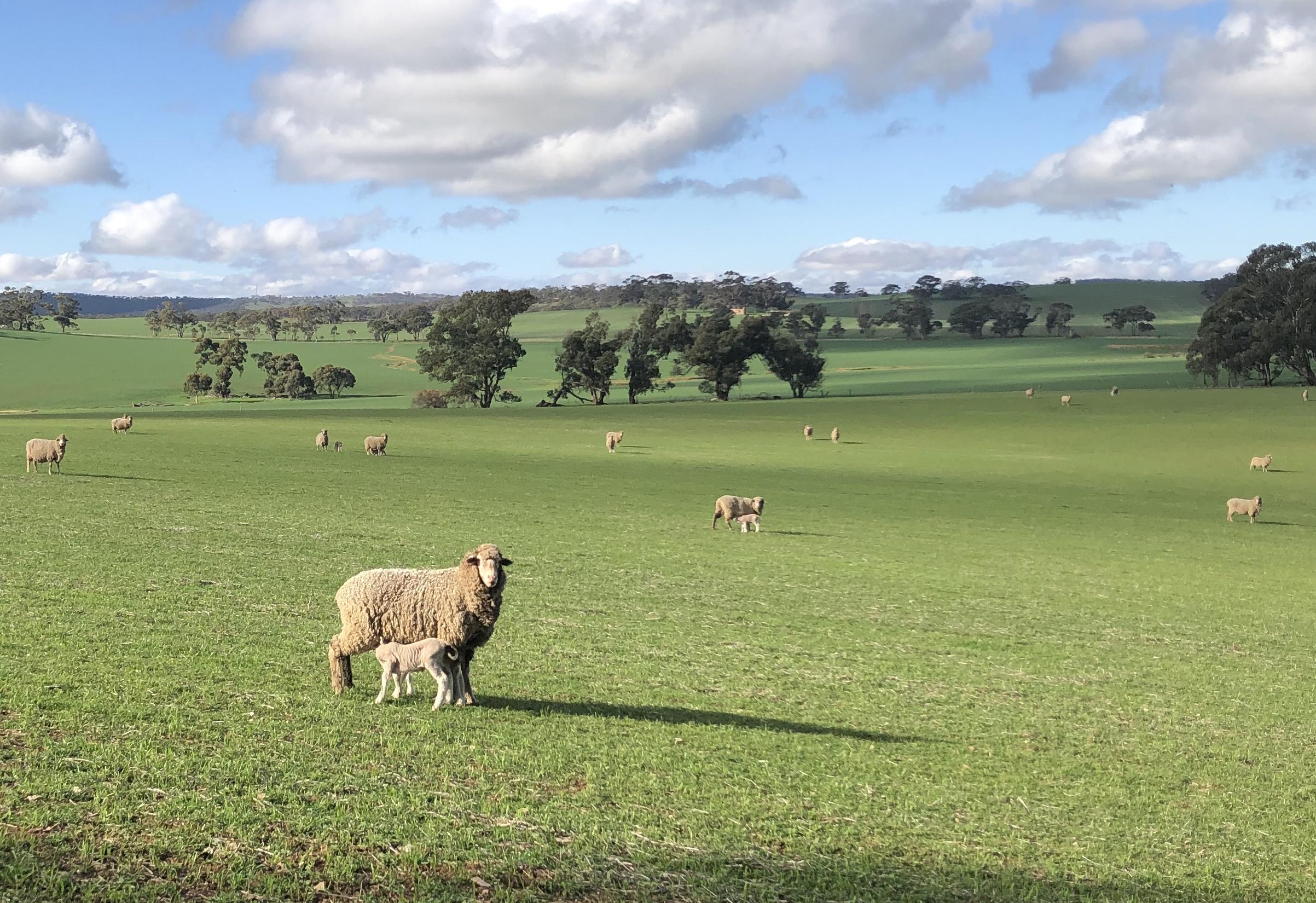 Ewe and Ewe lambs