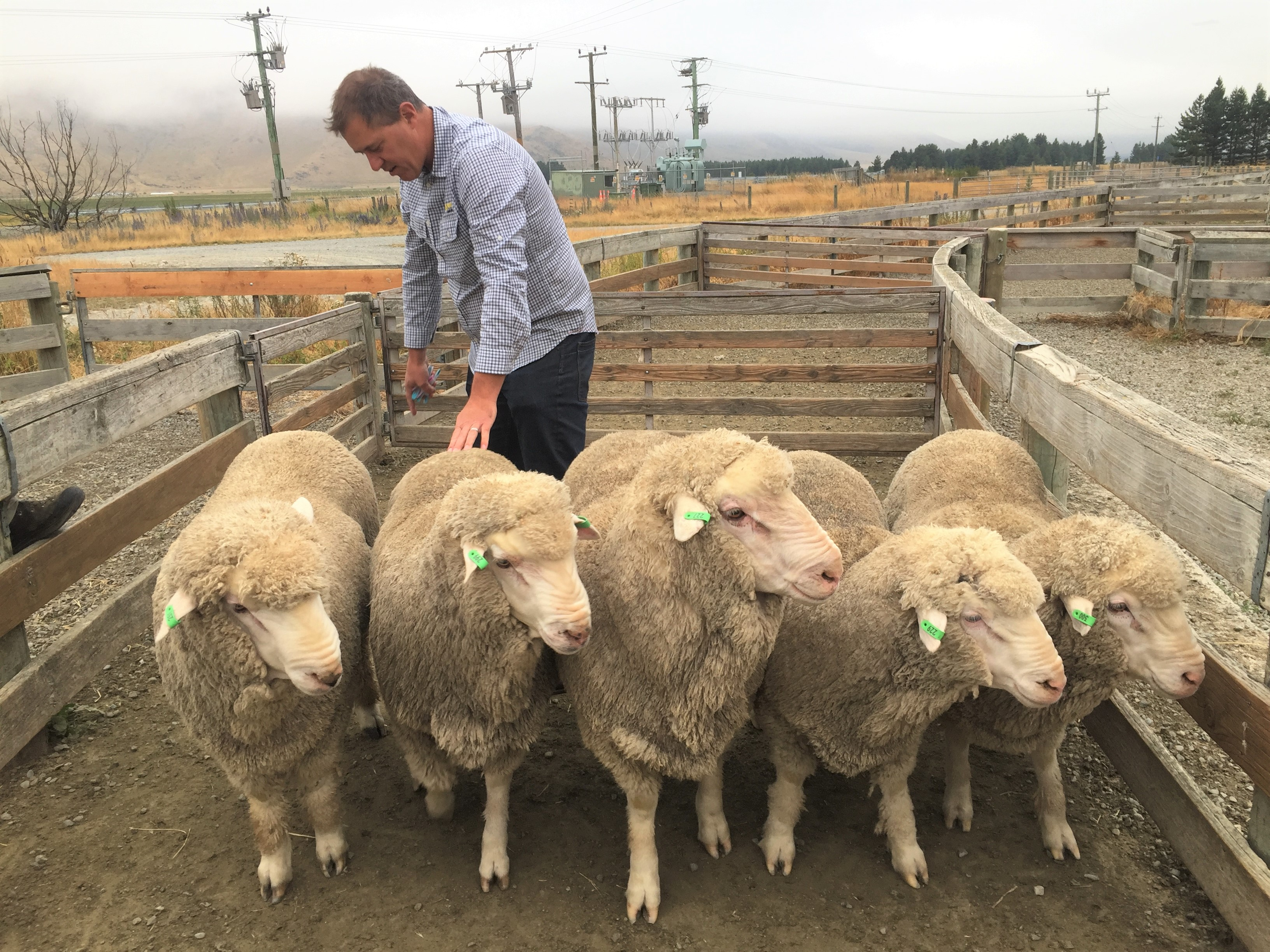 Mark Ferguson classing ewes in Benmore station
