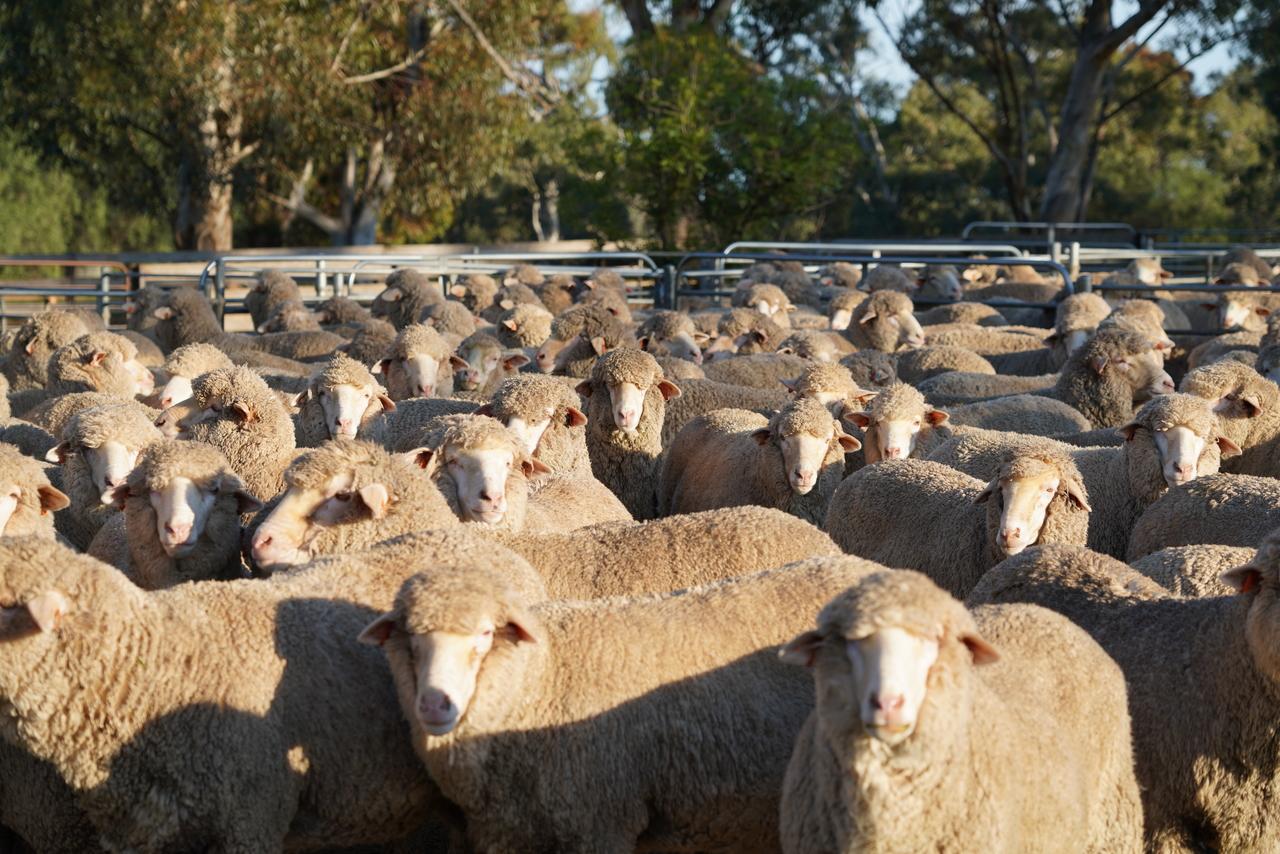 neXtgen Agri Farm Fit Ewes