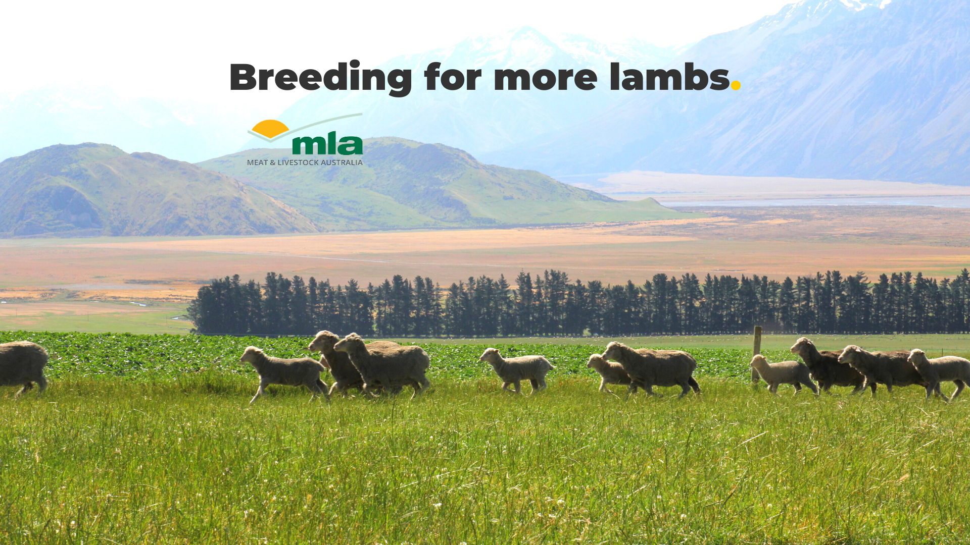 Breeding for more lambs with Meat and Livestock Australia