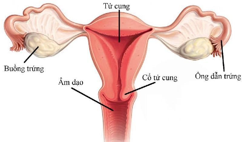 cấu tạo của âm đạo