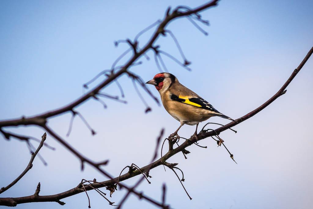 Goldfinch at Ellicar Gardens photo courtesy of Albert Phillipson