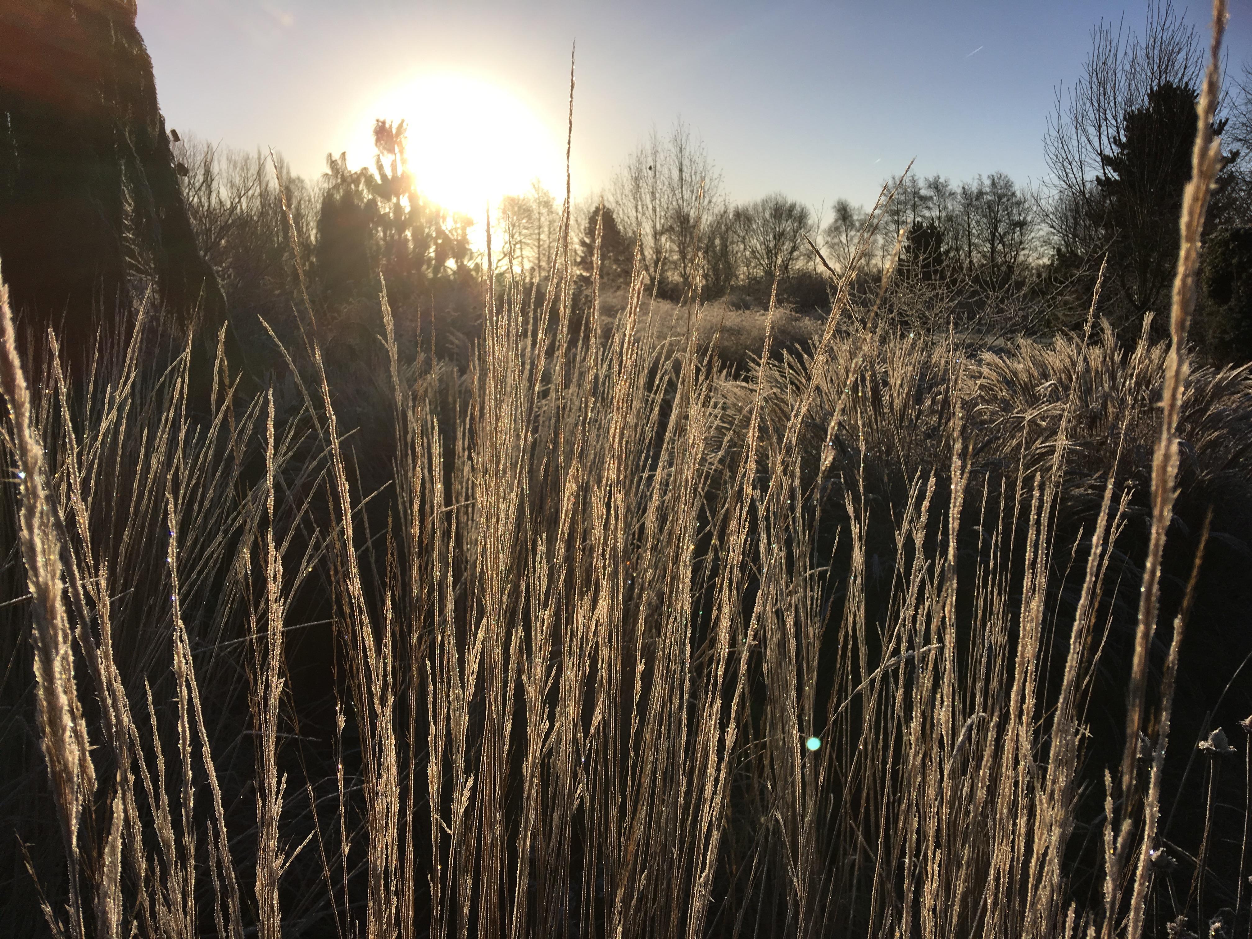 Grasses in winter sun