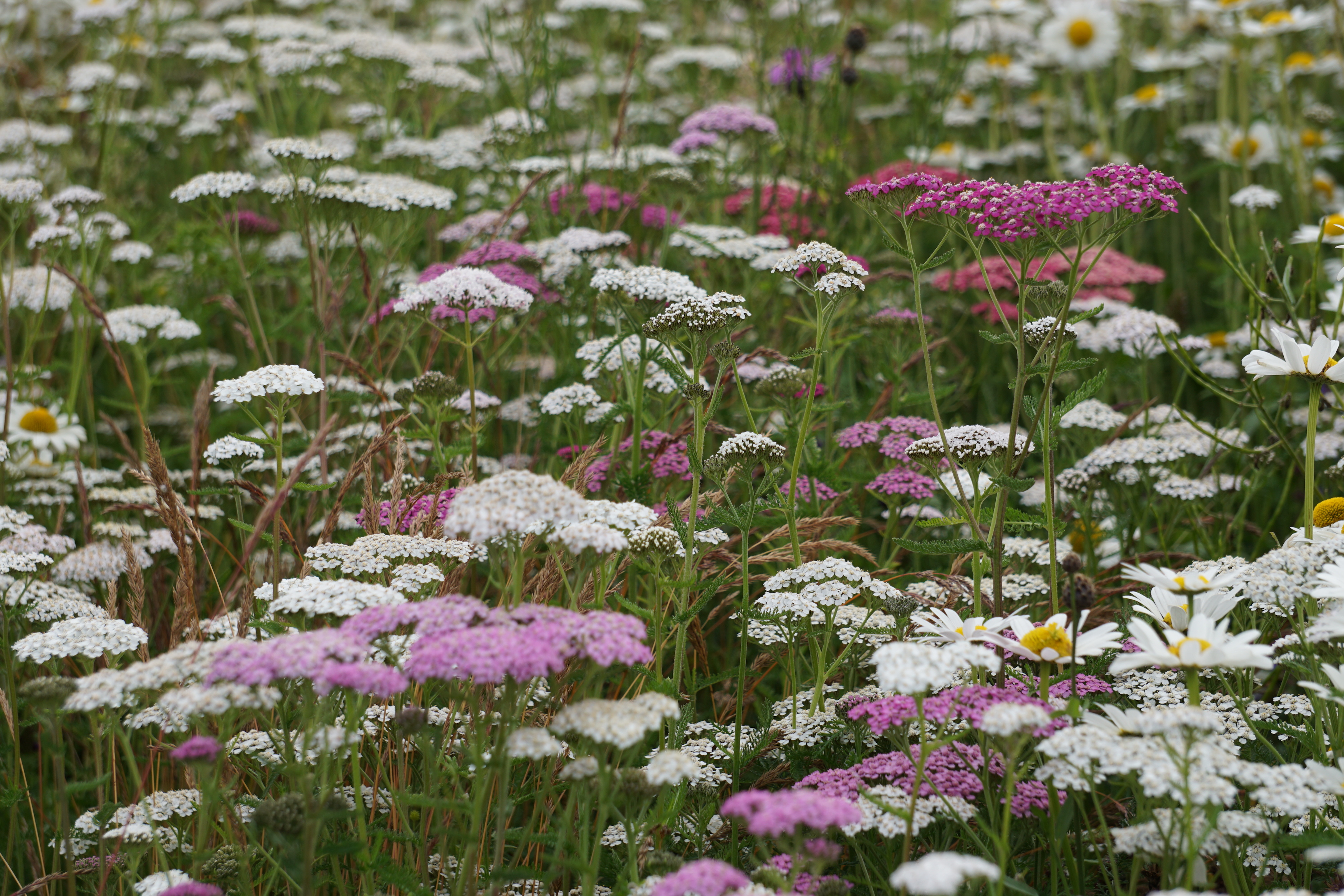 perennial flower meadow