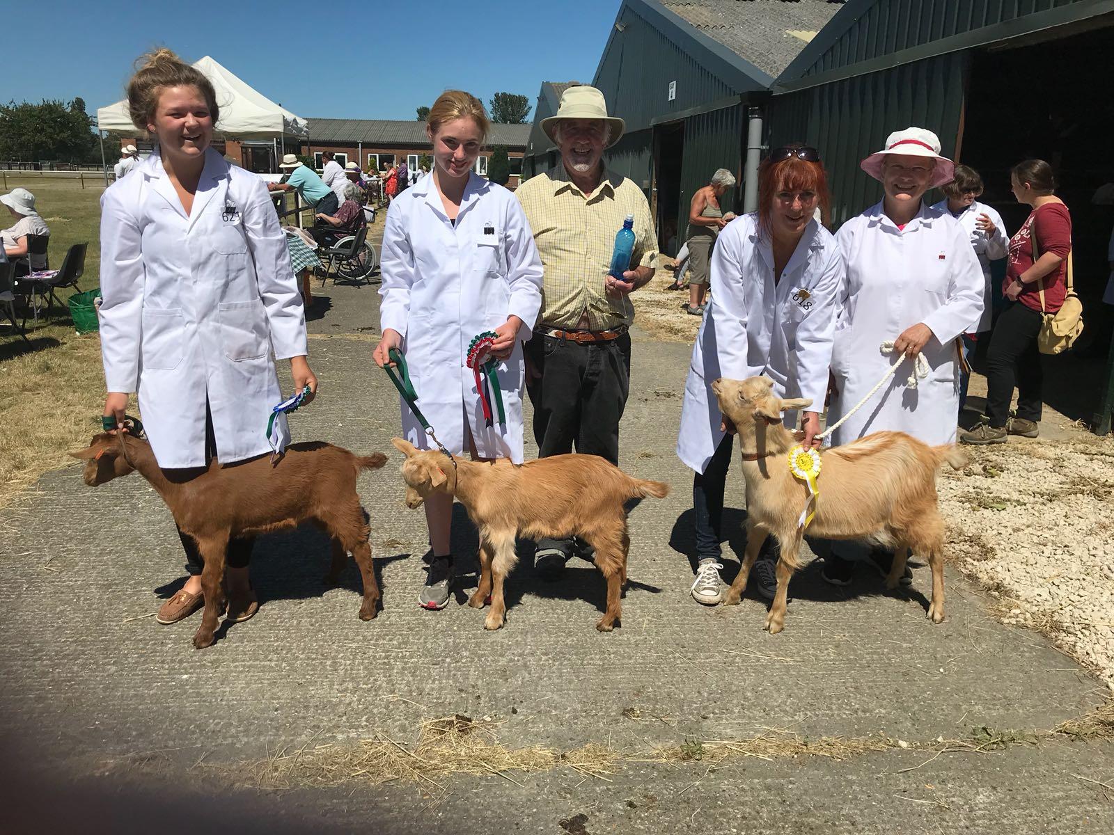 Golden Guernsey goats at a show