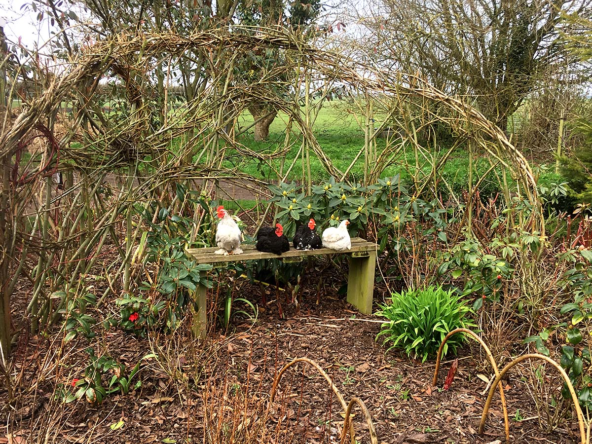 Bench and pekin chickens set in a living willow arbour at Ellicar Gardens