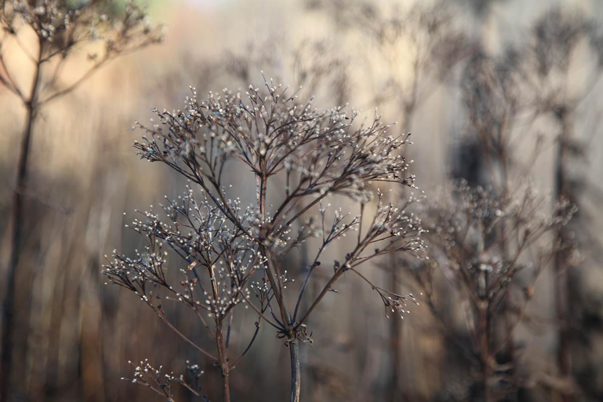 Filigree seedheads of Eupatorium Rugosum Atropurpureum