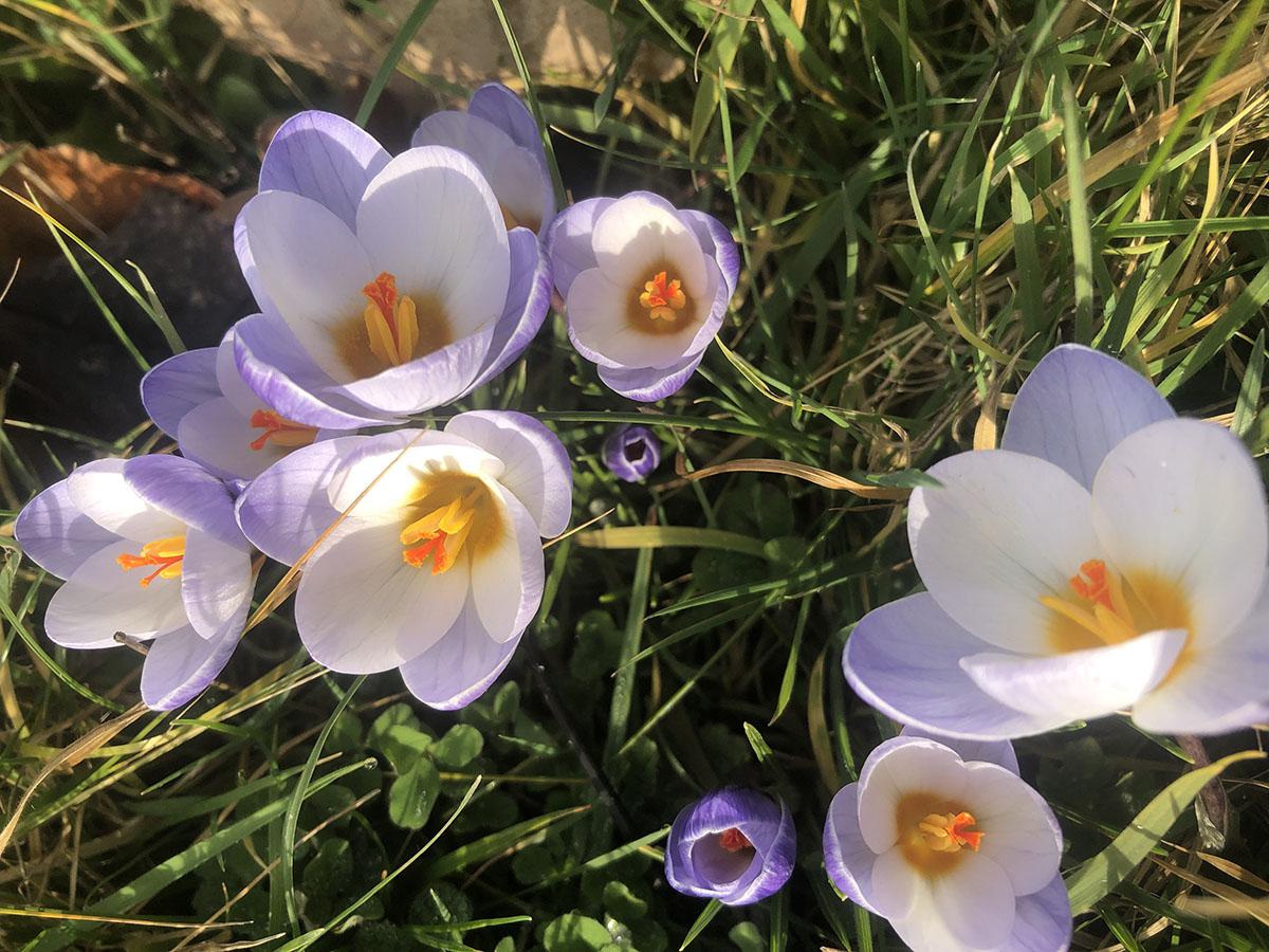 Crocus crysanthus Blue Pearl