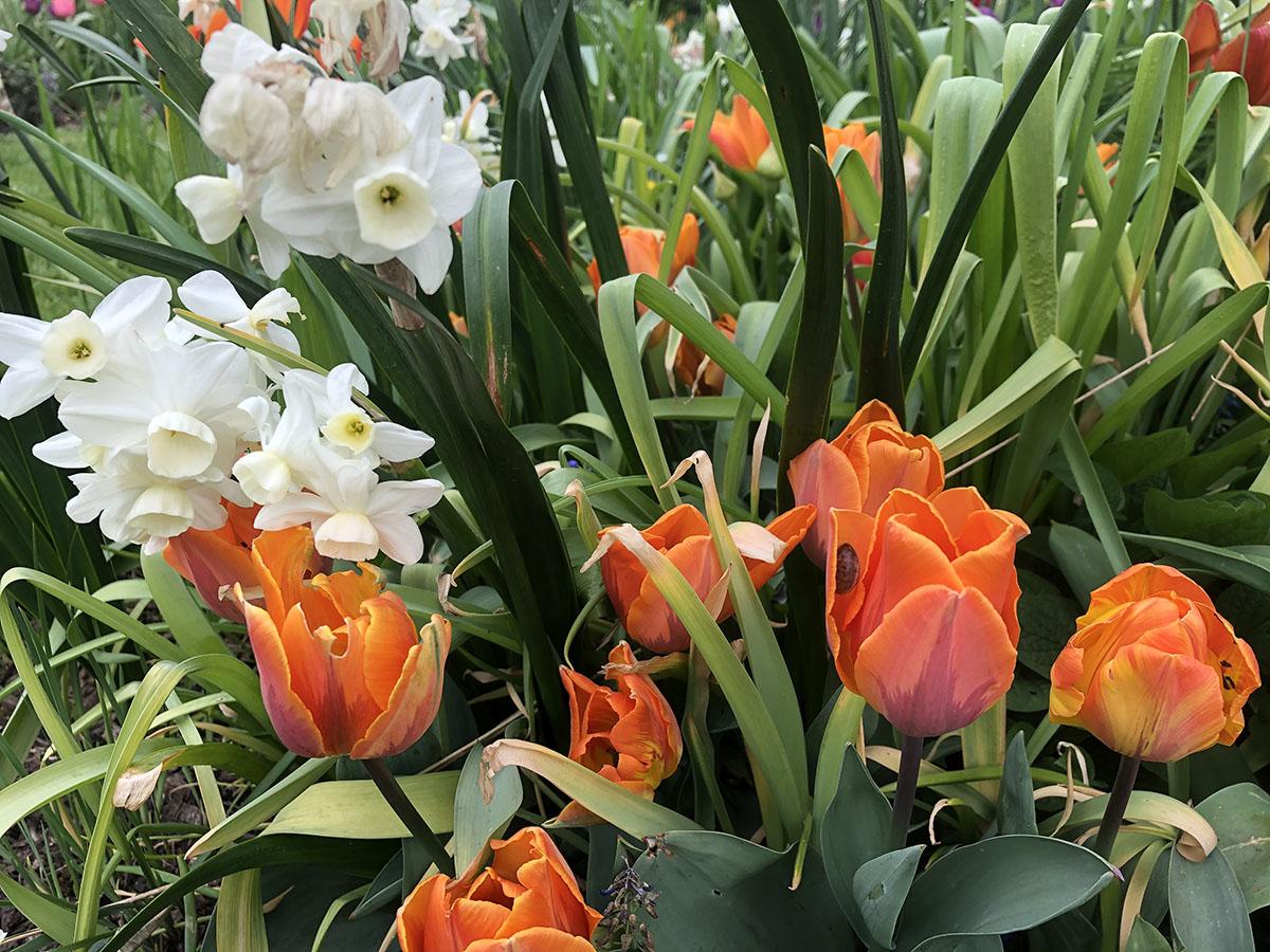 Narcissus Cheerfulness with Tulips Princess Irene