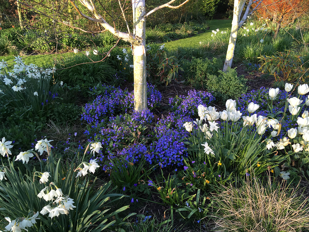 Narcissus Thahlia with Tulipa Purissima and spring perennials at Ellicar