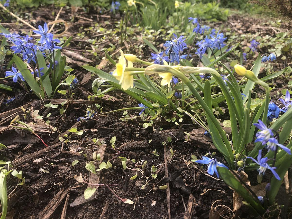 Scilla siberica with Narcissus Minnow