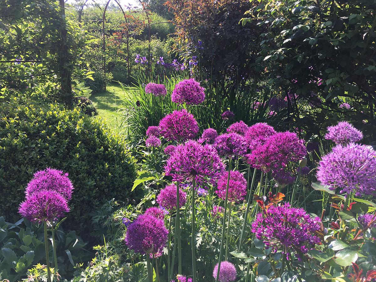 Allium Purple Sensation at Ellicar Gardens