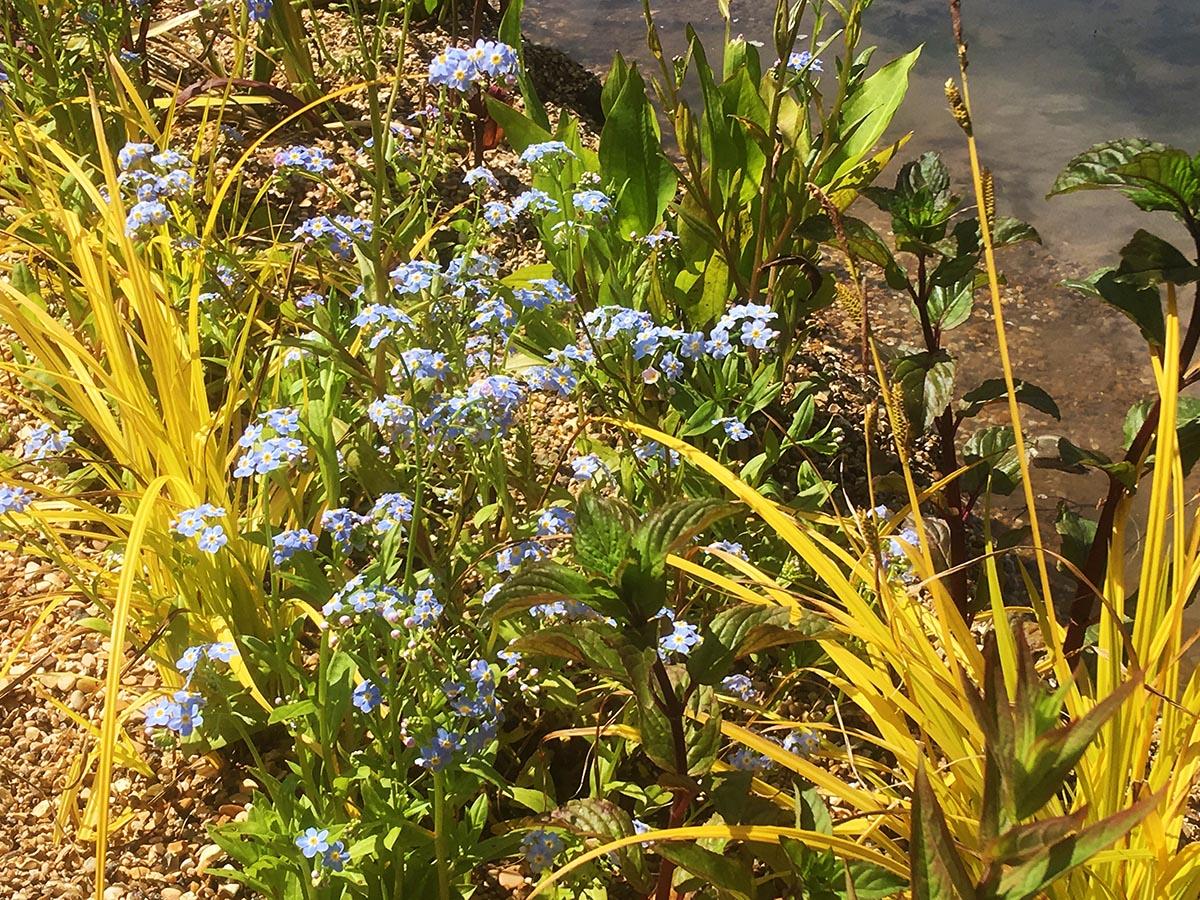 Water forget-me-not and Carex elata Aurea