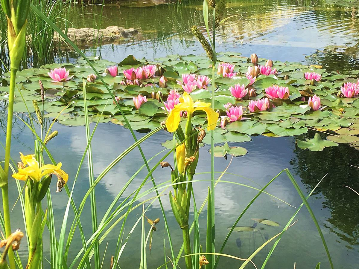 Aquatic plants water lilies and iris pseudoacous