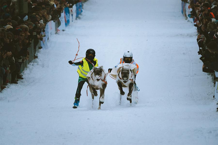 Reindeers running through Storgata in Tromsø
