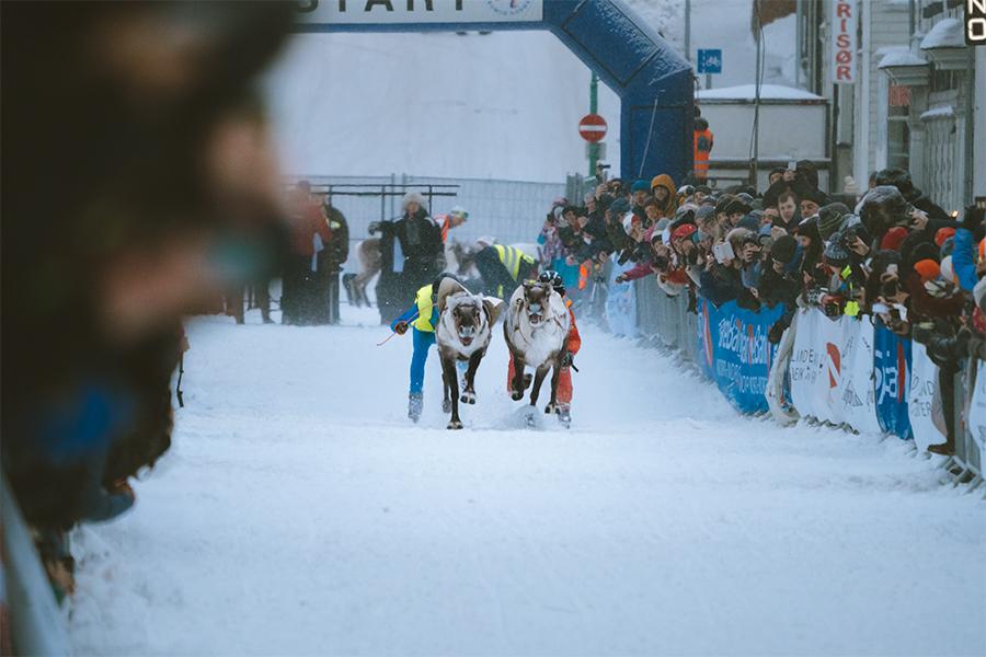 Reindeers competing in reindeer race