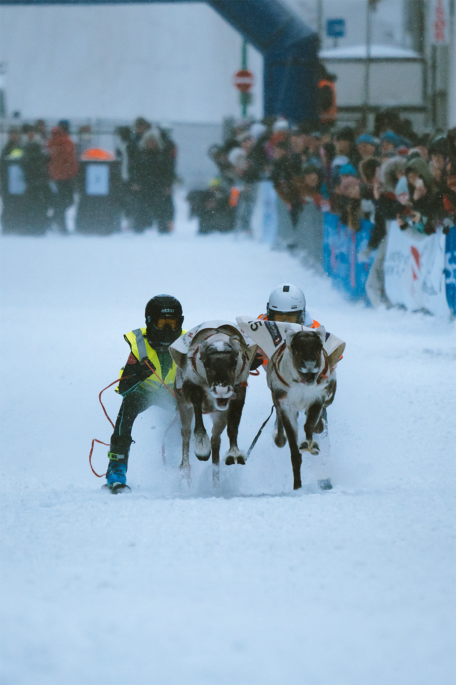 Reindeers and their riders skiing through Storgata in Tromsø