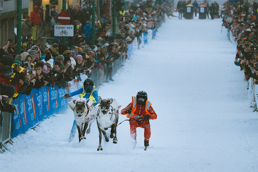 Reindeers racing in Sami week