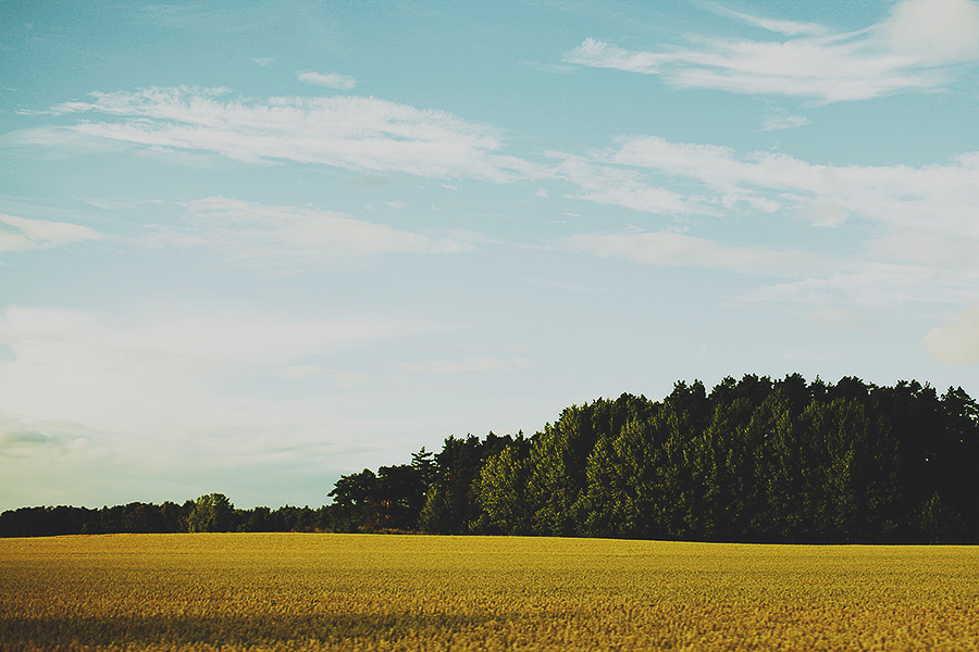 Yellow field and green trees