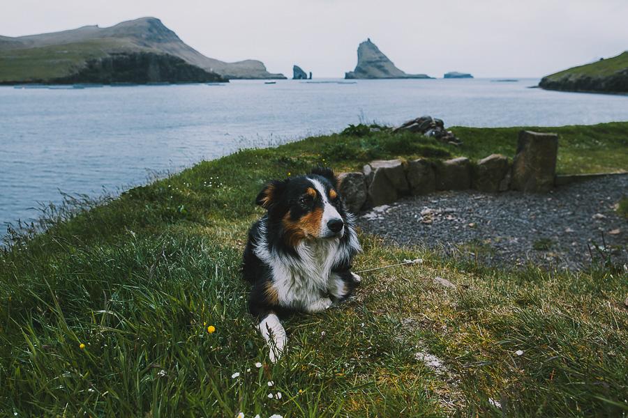 Dog laying in the grass in Faroe Islands