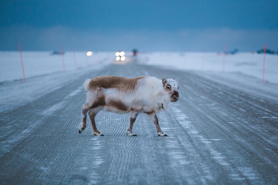 Reindeer at Svalbard