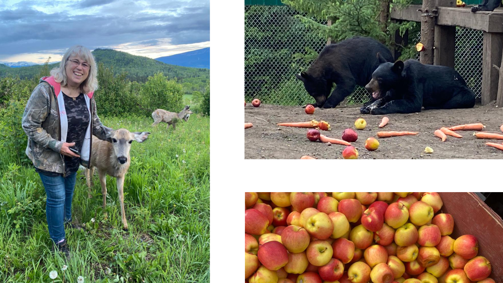 Left - NLWS Co-founder Angelika Langen visiting with Maple, an adult mule deer released from the shelter three years ago. | Top Right - Hungry yearling black bear cubs devouring their dinner. |Bottom Right - Apples purchased with donations to help feed the bears.