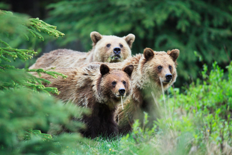 Grizzly bears are a threatened species in Alberta - John E. Marriott