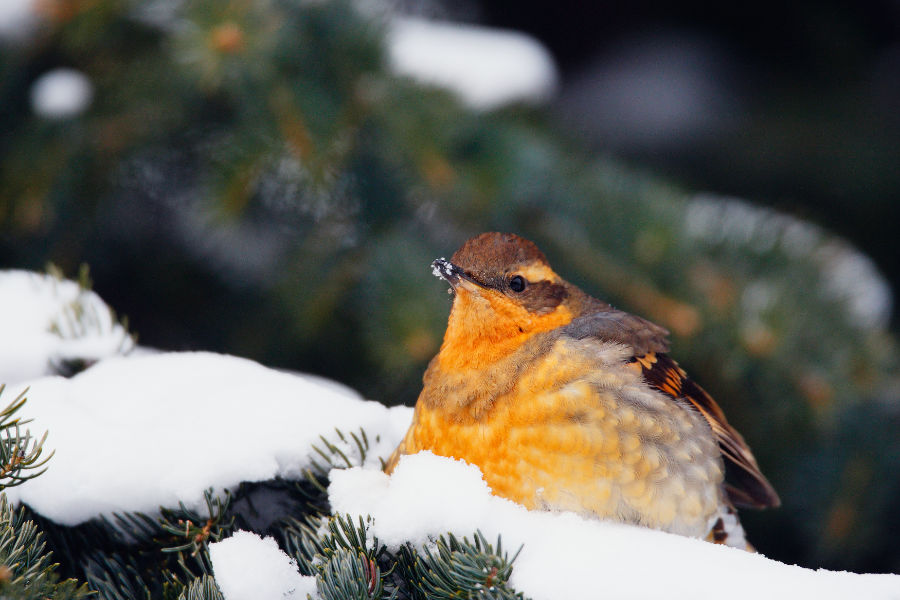 A Varied Thrush in the Alberta Rockies - John E. Marriott