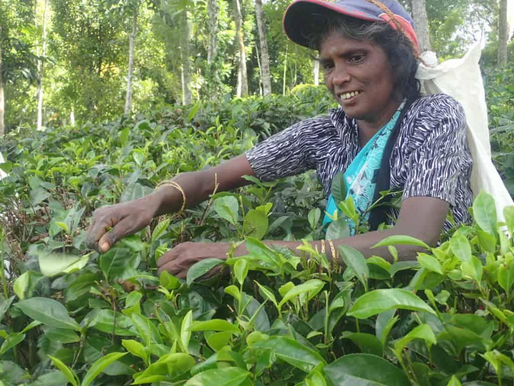 Teepflückerin bei der Arbeit