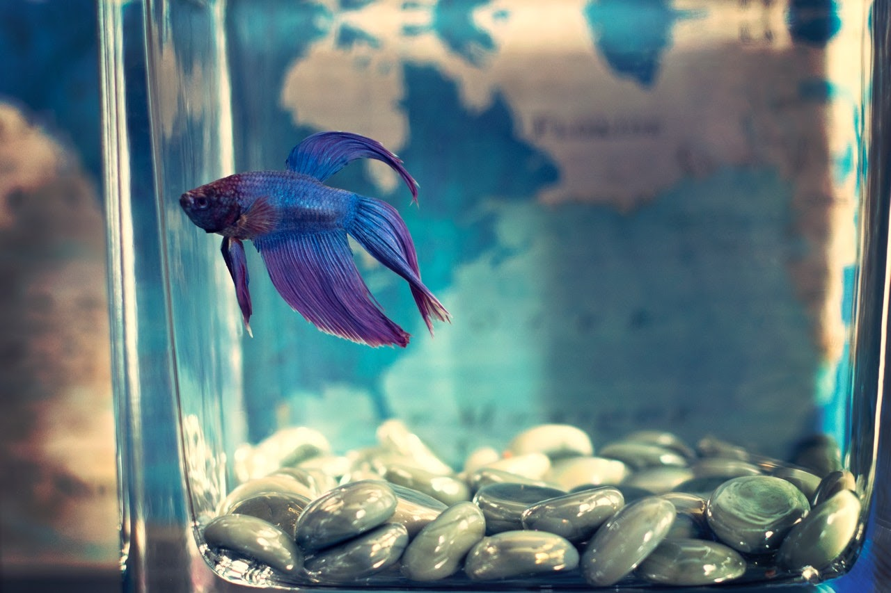 A blue beta fish swims in a small tank with gray rocks at the bottom.