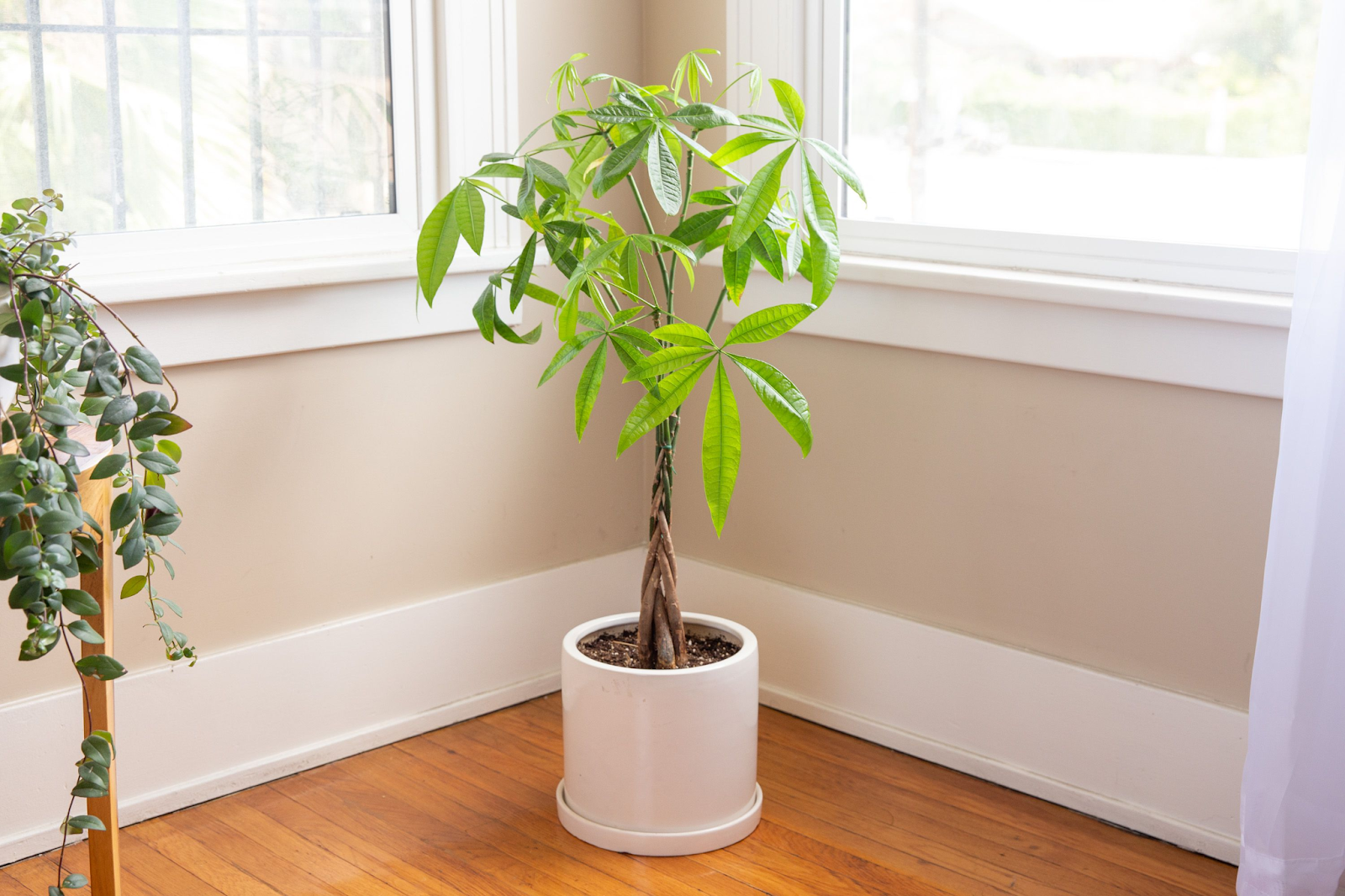 Guiana chestnut trees are a beautiful option for an indoor tree!