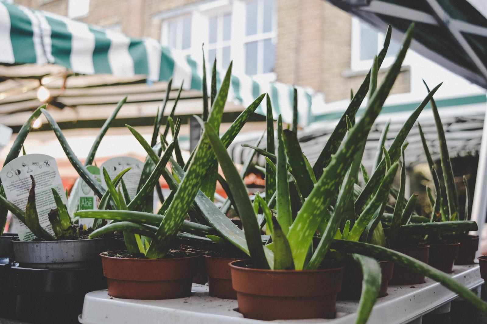 Aloe vera plants, perfect for apartments.