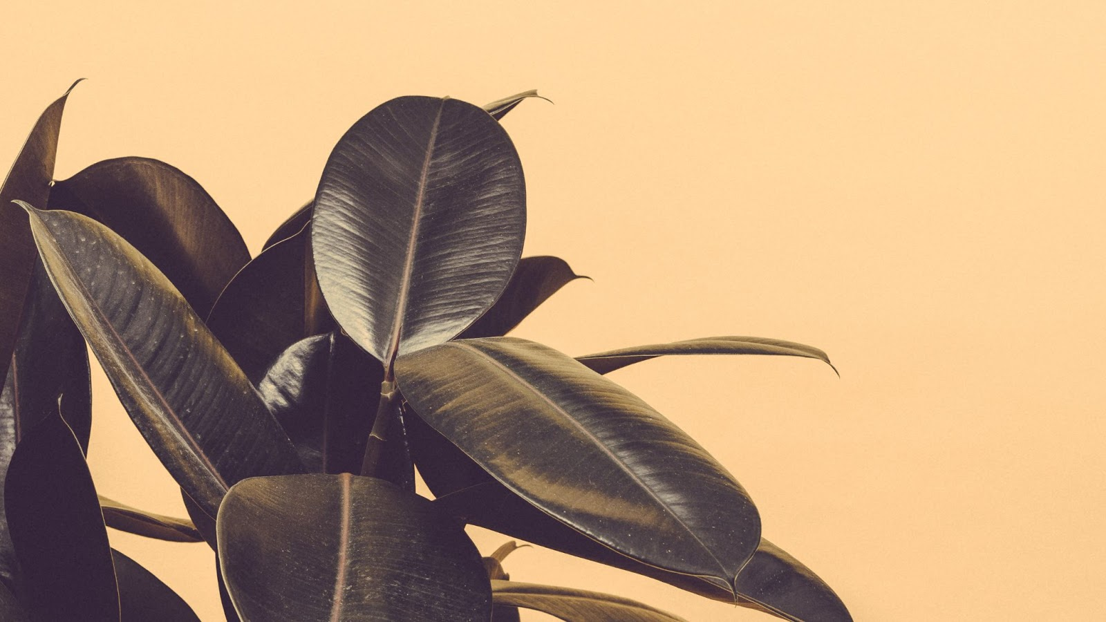 Dark waxy leaves against a yellow background.