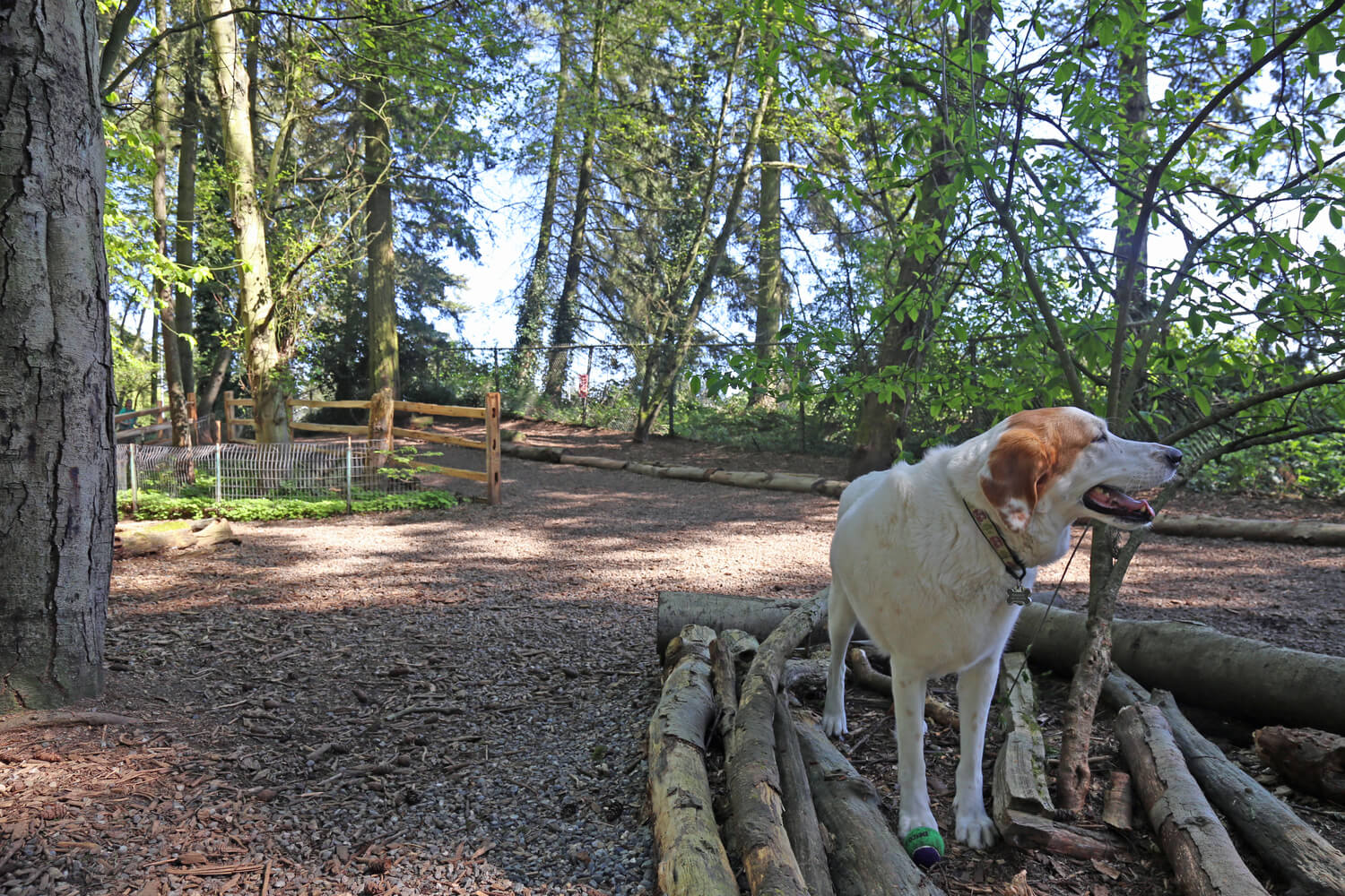 A white and brown dog stands on top of a pile of branches in a heavily wooded park