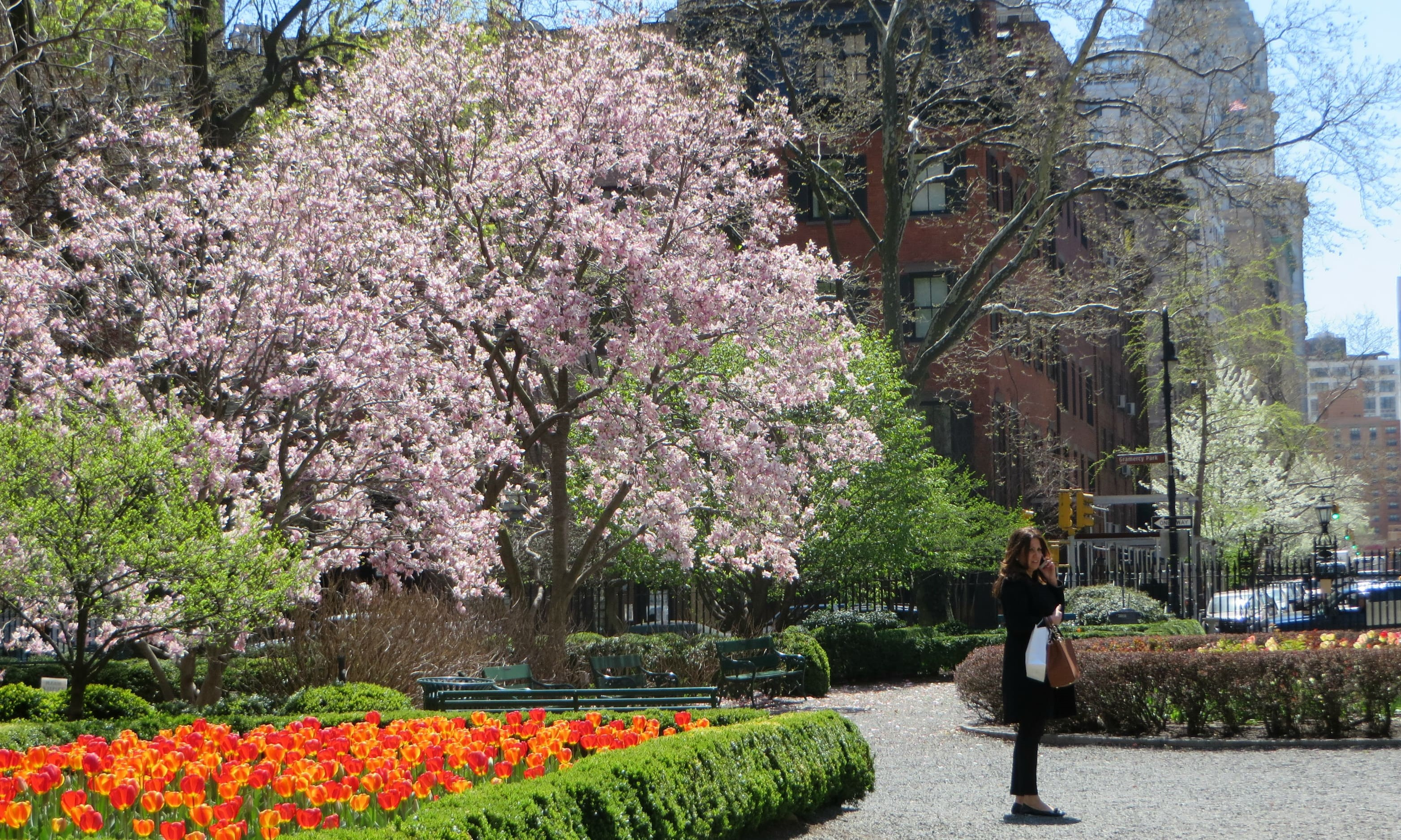 Gramercy tulips and cherry blossom trees