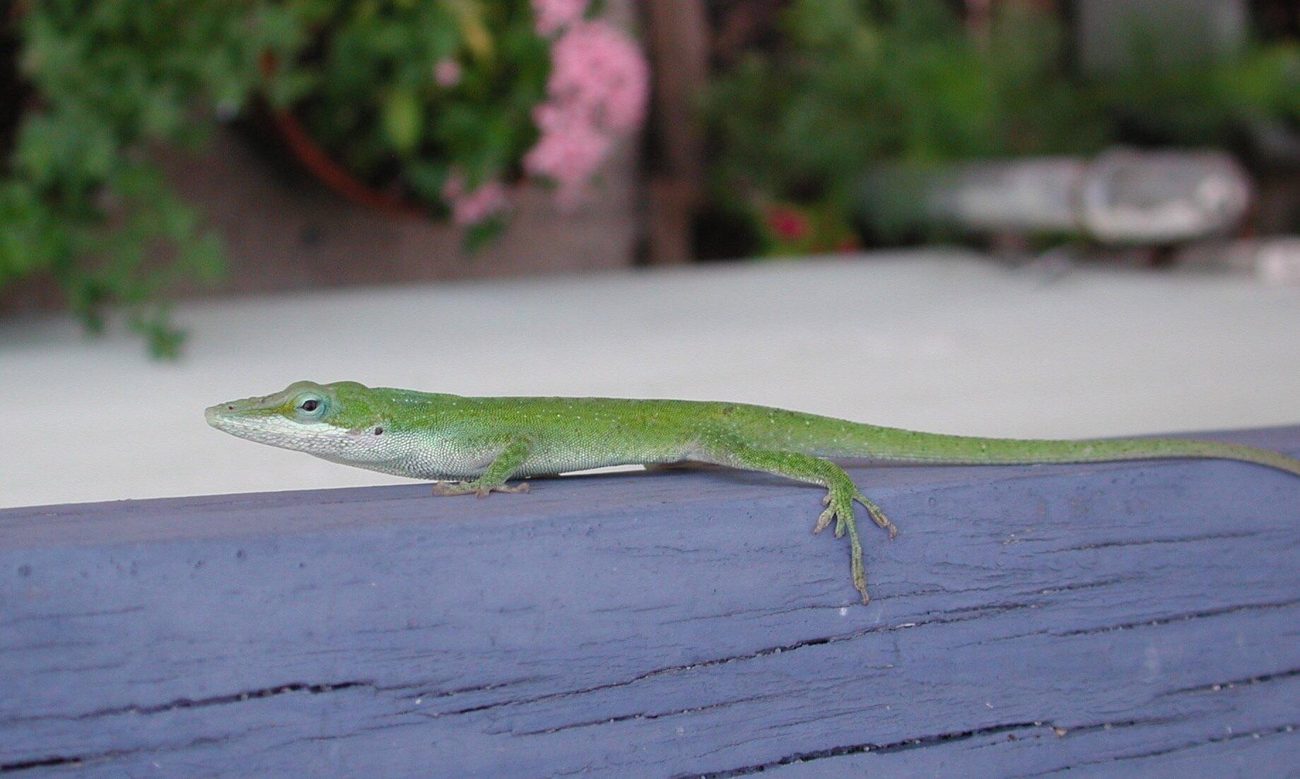 green anole lizard in dallas, texas