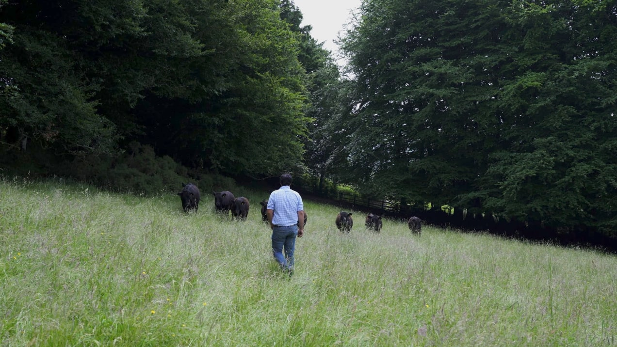 Farmer walking in a green field with his cows