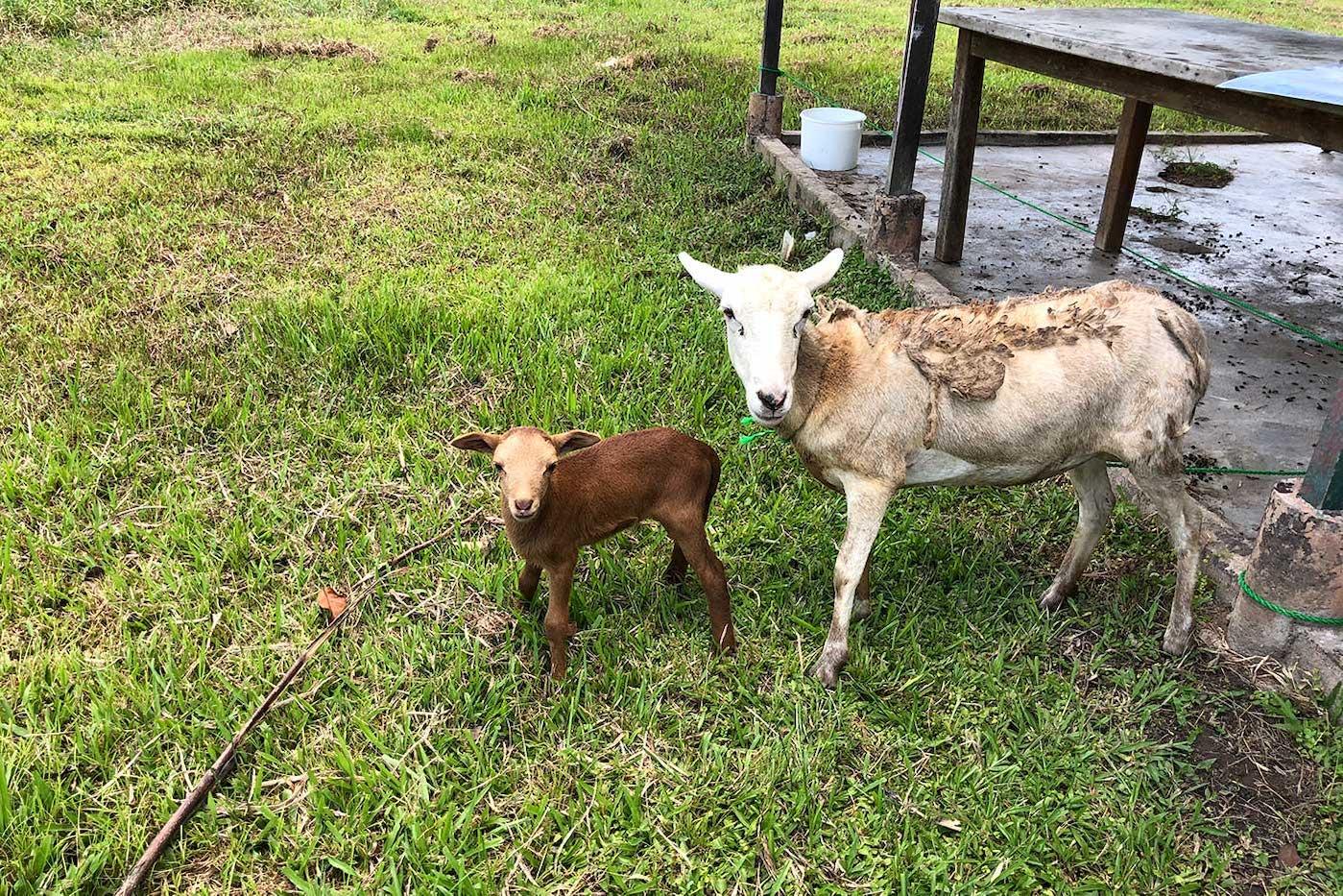 Moederschaap en bruin lammetje staan naast elkaar.