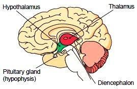 The Diencephalon The diencephalon, or interbrain, is located ...