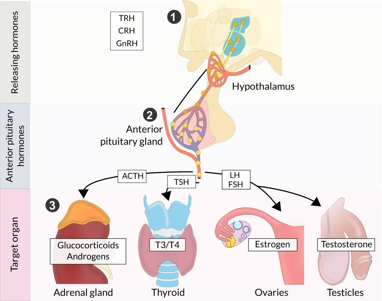 Hypothalamic-pituitary hormone axis