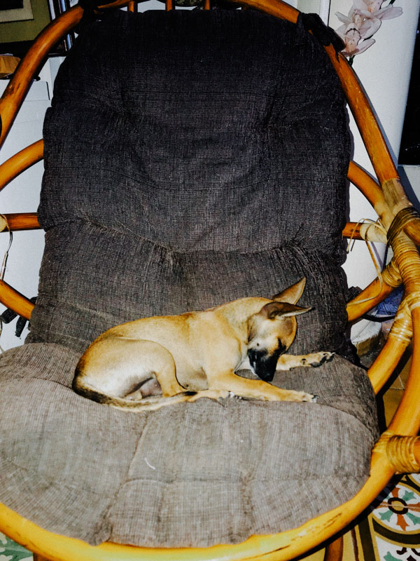 A light brown dog on a black seat in the Dominican Republic during COVID-19