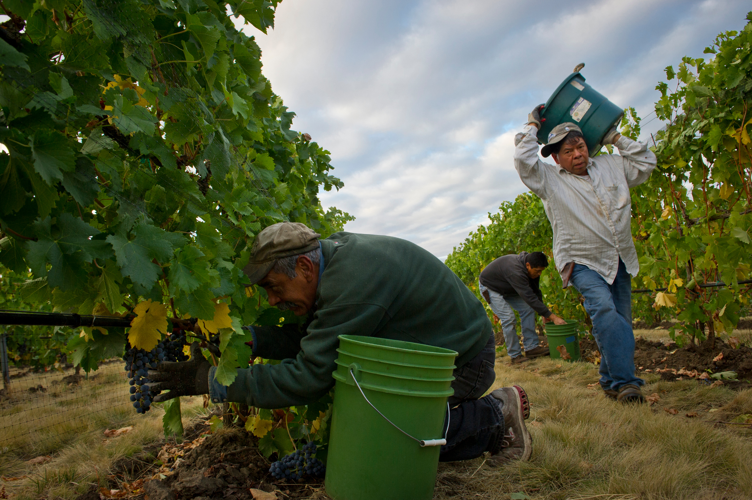 Farm workers harvesting grapes in a vineyard
