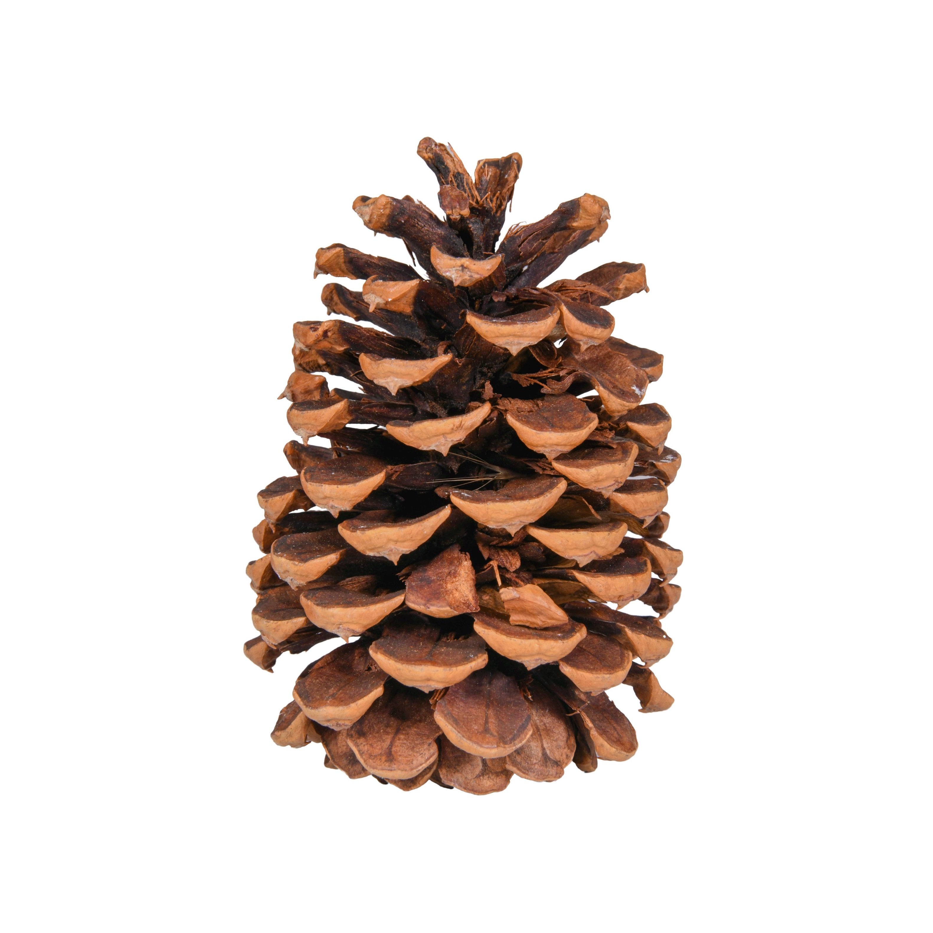 5in Natural Pine Cone