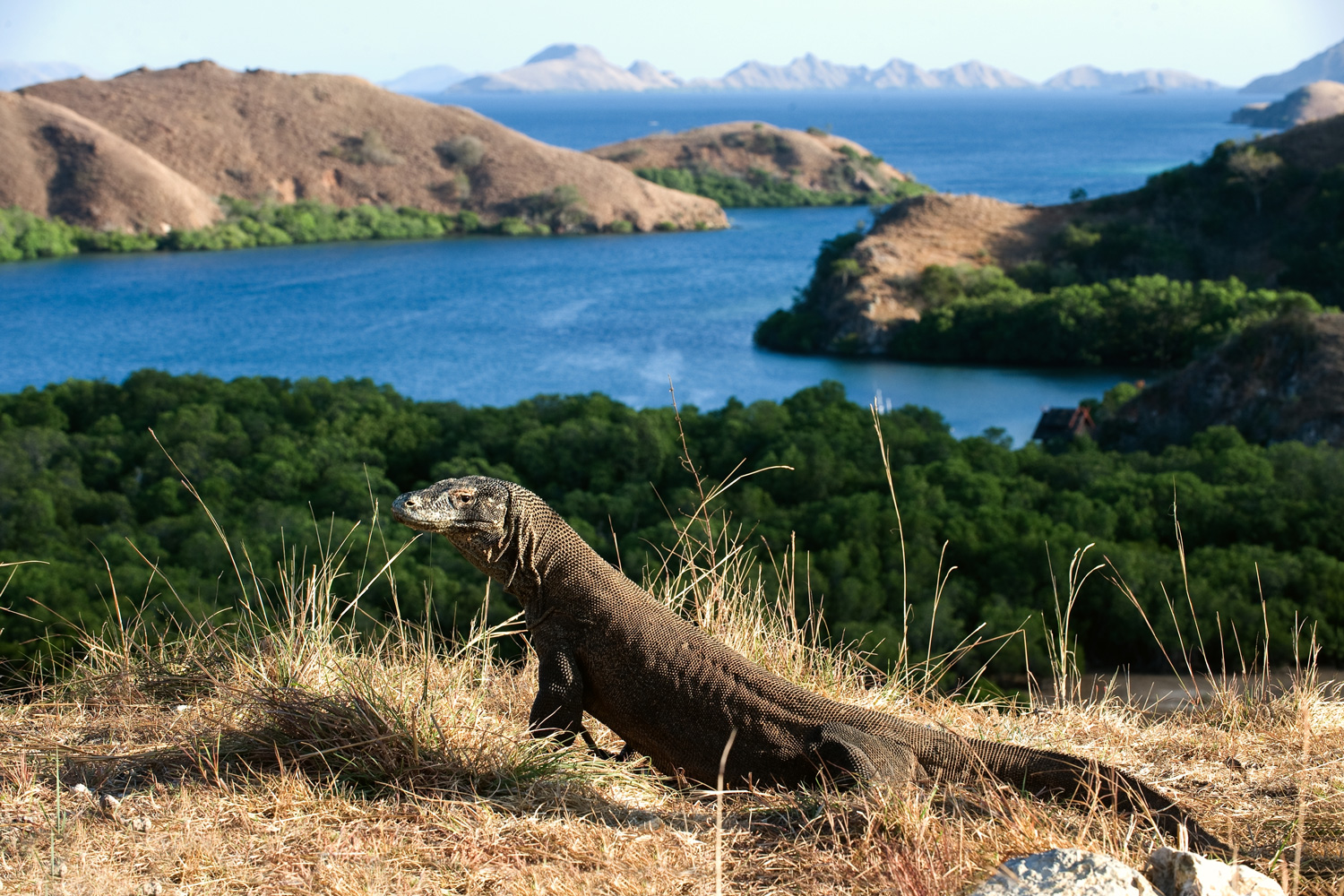 Komodo Dragon bathing in sunlight