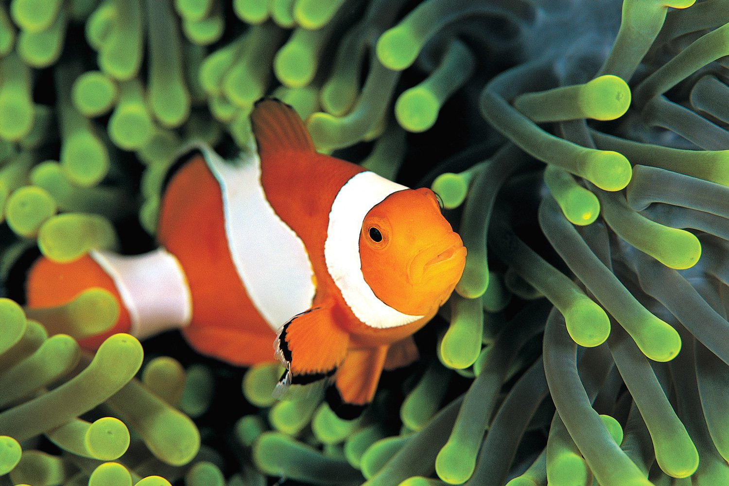 See Clownfish on the reef
