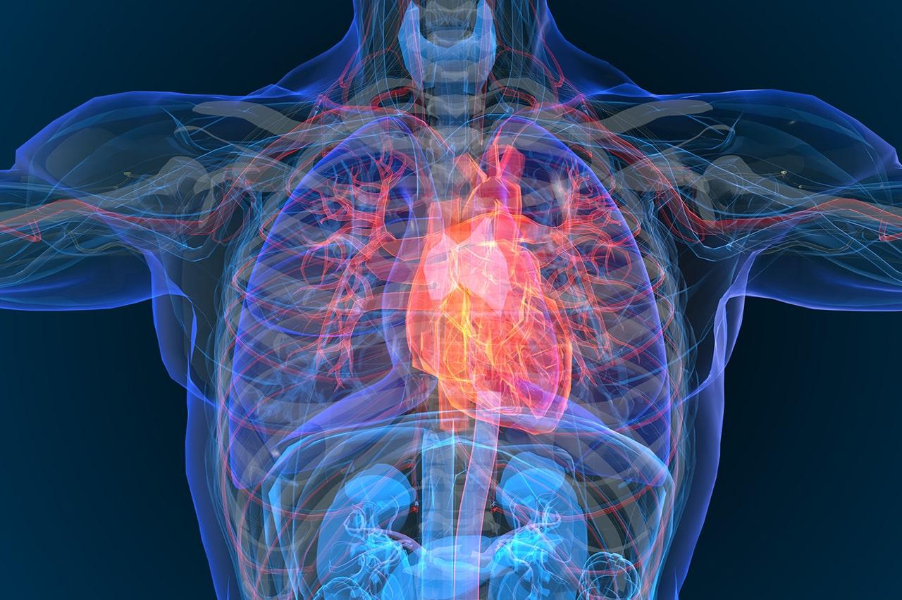 digital human model displaying internal organs